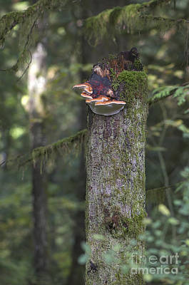 Photograph - Fungus On Stump by Sharon Talson