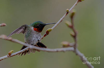 Photograph - Funky Hummingbird by Cheryl Baxter