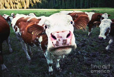 Cow Humorous Photograph - Say Hi by JR Photography