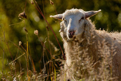 Photograph - Funny Sheep by Ludmila Nayvelt