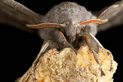 Nature Photograph - Furry Poplar Hawk Moth Macro by Mr Bennett Kent