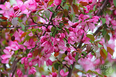 Photograph - Fuschia Crabapple Flower by Donna Munro
