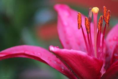 Photograph - Fuschia Lily by Linda Sannuti