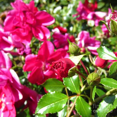 Fuschia Roses Art Print