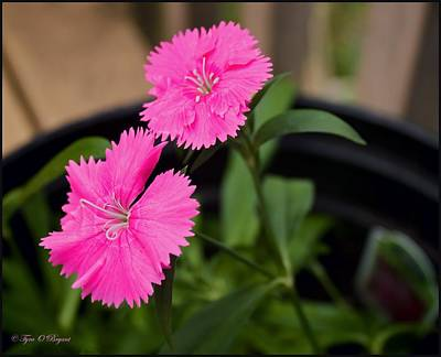 Photograph - Fuscia Dianthus Flower by Tyra  OBryant