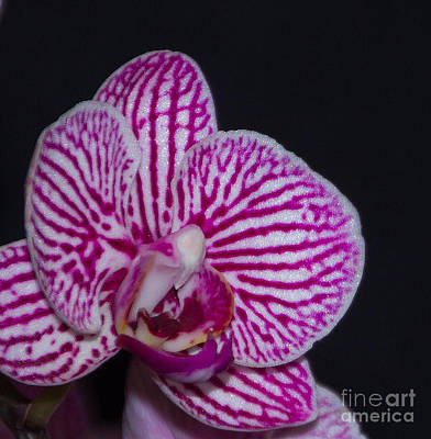 Photograph - Fuscia Orchid by Bill Woodstock