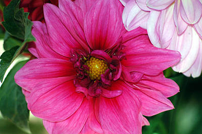 Art Print featuring the photograph Fushia Pink Dahlia by Lehua Pekelo-Stearns