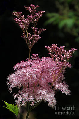 Photograph - Fuzzy And Pink by Frank Townsley