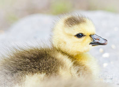 Photograph - Fuzzy Cuteness by Cheryl Baxter