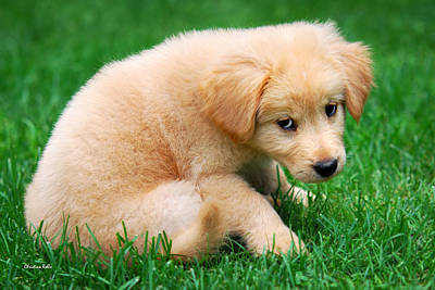 Photograph - Fuzzy Golden Puppy by Christina Rollo