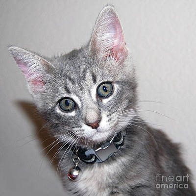 Photograph - Fuzzy Gray Kitten by Debra Thompson