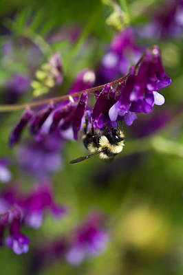 Photograph - Fuzzy Pollinator  by Priya Ghose
