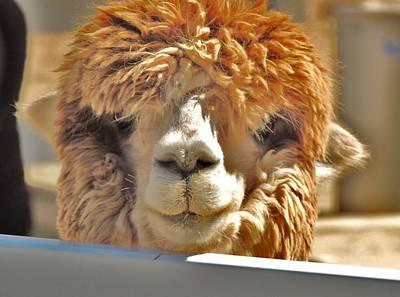 Photograph - Fuzzy Wuzzy Alpaca by Helen Carson