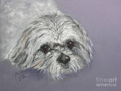 Shih Tsu Drawing - Gabby by Cori Solomon
