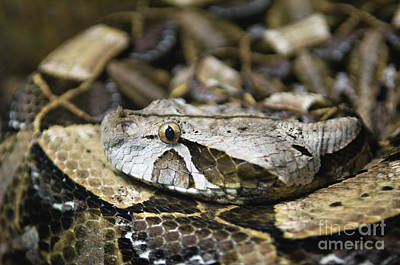 Photograph - Gaboon Viper - D009041 by Daniel Dempster
