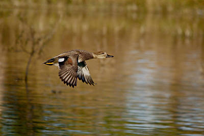 Red Roses - Gadwall Drake In Flight by Roy Williams