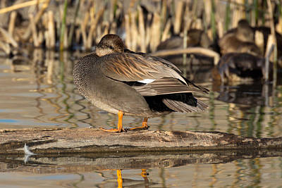 Photograph - Gadwall Napping by Kathleen Bishop