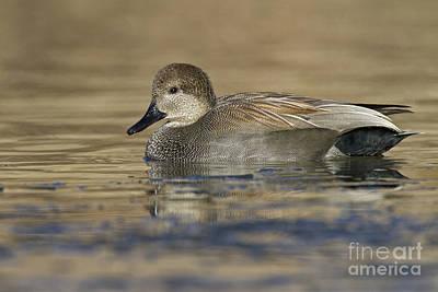 Animals Photos - Gadwall on Icy Pond by Bryan Keil
