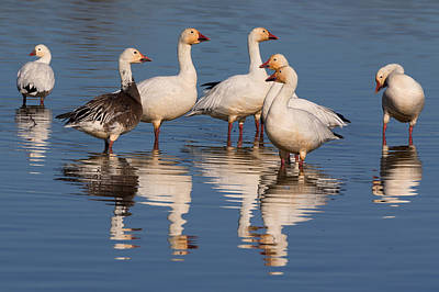 Gaggle Of Snow Geese Reflected Art Print