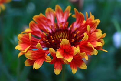 Print featuring the photograph Gaillardia Flower by Keith Hawley