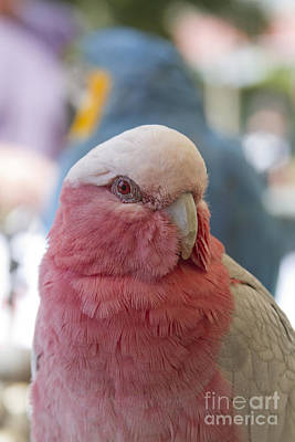 Photograph - Galah - Eolophus Roseicapilla - Pink And Grey - Rose Breasted Cockatoo by Sharon Mau