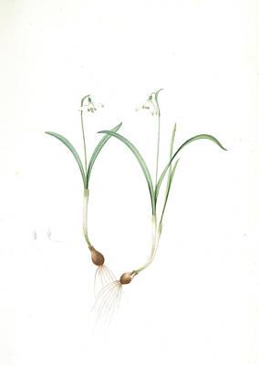 Lively Drawing - Galanthus Nivalis, Galanthine Perce-neige Snowdrop by Artokoloro