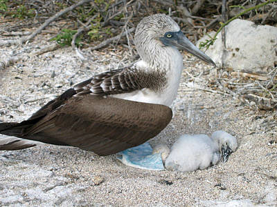 Boobies Digital Art - Galapagos Blue Footed Booby Egg And Chick by Eva Kaufman