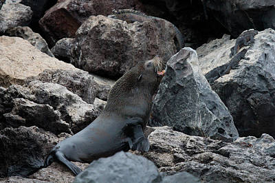 Photograph - Galapagos Fur Seal by David Beebe