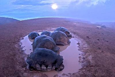 Nigra Photograph - Galapagos Giant Tortoises On Volcano Rim by Paul D Stewart