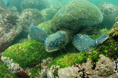 Chelonia Photograph - Galapagos Green Sea Turtle (chelonia by Pete Oxford