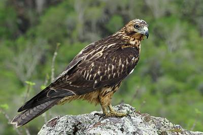 Galapagos Hawk Buteo Galapagoensis Art Print by Photostock-israel/science Photo Library
