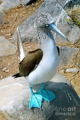 Digital Art - Galapagos Island Blue Footed Booby Bird 2 by Eva Kaufman