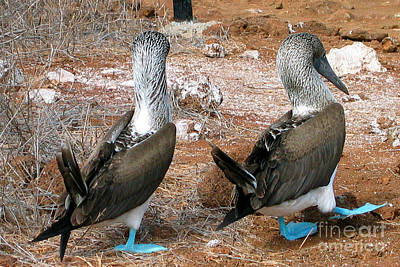 Digital Art - Galapagos Island Blue Footed Booby Bird by Eva Kaufman