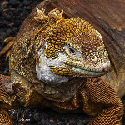 Photograph - Galapagos Land Iguana  by Allen Sheffield