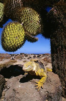Land Iguana Photograph - Galapagos Land Iguana Basking Ecuador by D. & E. Parer-Cook