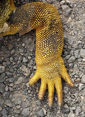 Land Iguana Photograph - Galapagos Land Iguana Conolophus by Christian Heeb