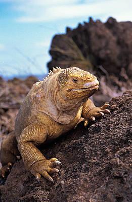 Land Iguana Photograph - Galapagos Land Iguana Conolophus by Gerard Lacz