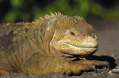 Land Iguana Photograph - Galapagos Land Iguana Isabella Island by Pete Oxford