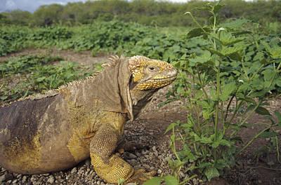 Land Iguana Photograph - Galapagos Land Iguana Male by Tui De Roy