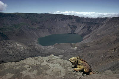 Land Iguana Photograph - Galapagos Land Iguana Overlooking by Tui De Roy
