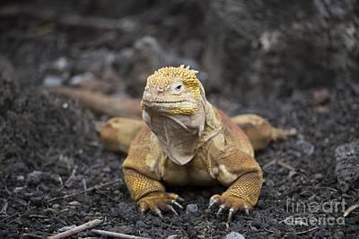 Land Iguana Photograph - Galapagos Land Iguana Resting by Dr P. Marazzi
