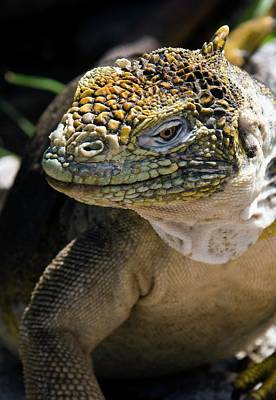 Galapagos Photograph - Galapagos Land Iguana by Steve Allen/science Photo Library