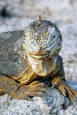 Galapagos Photograph - Galapagos Land Iguana by Sue Ford/science Photo Library