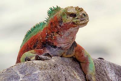 Marine Iguana Photograph - Galapagos Marine Iguana Looks by Janet Muir