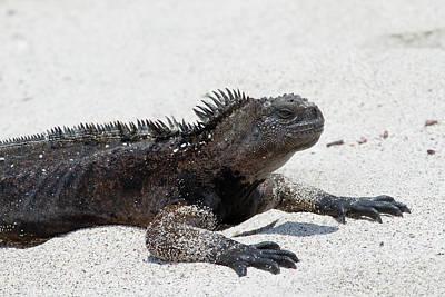 Marine Iguana Photograph - Galapagos Marine Iguana, West Side by Diane Johnson