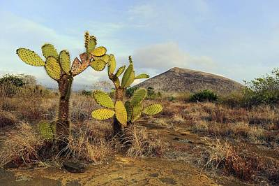 Galapagos Prickly Pear (opuntia Echios) Art Print by Science Photo Library