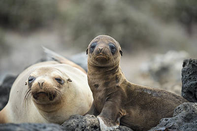 Galapagos Photograph - Galapagos Sea Lion And Pup Champion by Tui De Roy