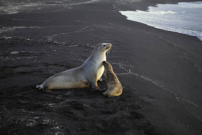 Galapagos Sea Lion And Pup Galapagos Art Print by Tui De Roy
