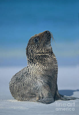 Photograph - Galapagos Sea Lion by Chris Scroggins