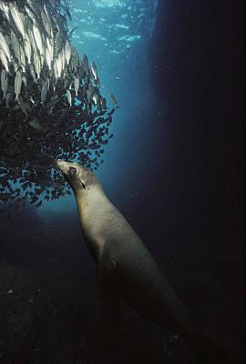 Galapagos Sea Lion Pup Fishing Print by Tui De Roy